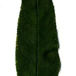 Photographie n°199066 du taxon Buddleja davidii Franch. [1887]