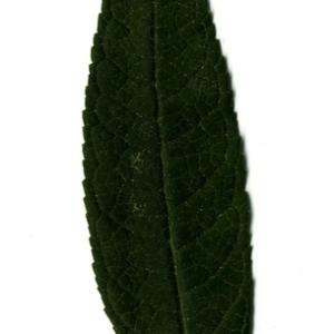 Photographie n°199067 du taxon Buddleja davidii Franch. [1887]