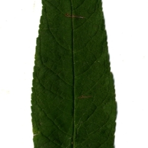 Photographie n°199071 du taxon Buddleja davidii Franch. [1887]