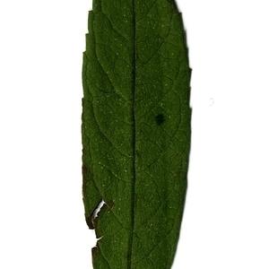 Photographie n°199074 du taxon Buddleja davidii Franch. [1887]
