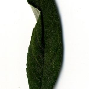 Photographie n°199076 du taxon Buddleja davidii Franch. [1887]
