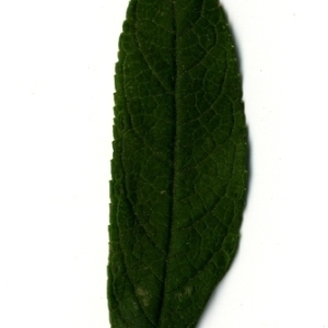 Photographie n°199077 du taxon Buddleja davidii Franch. [1887]