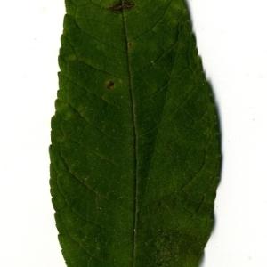 Photographie n°199078 du taxon Buddleja davidii Franch. [1887]
