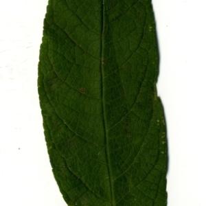 Photographie n°199080 du taxon Buddleja davidii Franch. [1887]