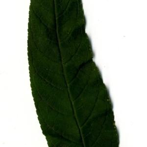 Photographie n°199081 du taxon Buddleja davidii Franch. [1887]
