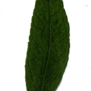 Photographie n°199088 du taxon Buddleja davidii Franch. [1887]