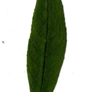 Photographie n°199091 du taxon Buddleja davidii Franch. [1887]