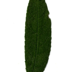 Photographie n°199092 du taxon Buddleja davidii Franch. [1887]