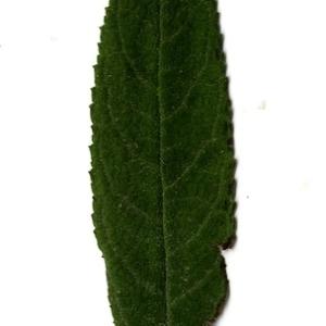 Photographie n°199096 du taxon Buddleja davidii Franch. [1887]