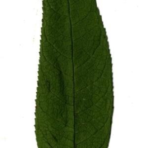 Photographie n°199101 du taxon Buddleja davidii Franch. [1887]