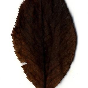 Photographie n°199176 du taxon Prunus avium (L.) L. [1755]