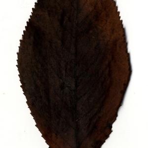 Photographie n°199177 du taxon Prunus avium (L.) L. [1755]