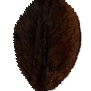 Photographie n°199180 du taxon Prunus avium (L.) L. [1755]