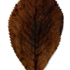 Photographie n°199182 du taxon Prunus avium (L.) L. [1755]