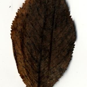 Photographie n°199184 du taxon Prunus avium (L.) L. [1755]