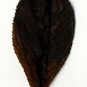 Photographie n°199185 du taxon Prunus avium (L.) L. [1755]