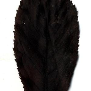 Photographie n°199187 du taxon Prunus avium (L.) L. [1755]