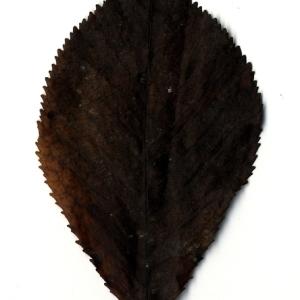 Photographie n°199188 du taxon Prunus avium (L.) L. [1755]