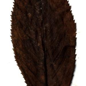 Photographie n°199189 du taxon Prunus avium (L.) L. [1755]