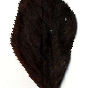 Photographie n°199190 du taxon Prunus avium (L.) L. [1755]
