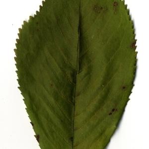 Photographie n°199192 du taxon Prunus avium (L.) L. [1755]