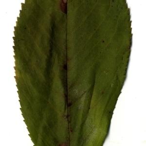 Photographie n°199193 du taxon Prunus avium (L.) L. [1755]