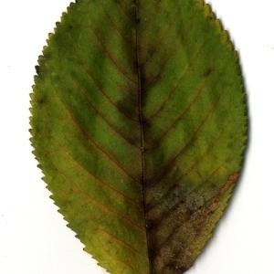 Photographie n°199195 du taxon Prunus avium (L.) L. [1755]