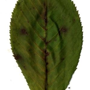 Photographie n°199197 du taxon Prunus avium (L.) L. [1755]