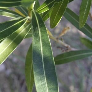 Photographie n°199288 du taxon Nerium oleander L. [1753]