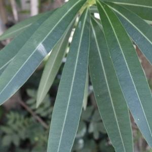 Photographie n°199296 du taxon Nerium oleander L. [1753]