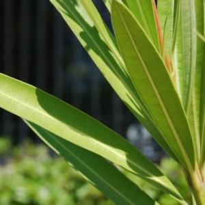 Photographie n°199328 du taxon Nerium oleander L. [1753]
