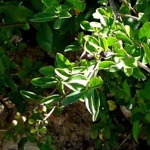 Photographie n°199393 du taxon Ligustrum vulgare L. [1753]