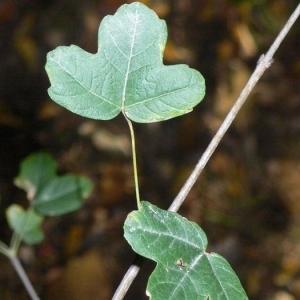 Photographie n°199612 du taxon Acer monspessulanum L. [1753]