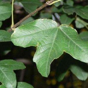Photographie n°199613 du taxon Acer monspessulanum L. [1753]