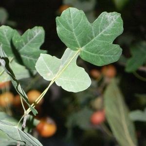 Photographie n°199621 du taxon Acer monspessulanum L. [1753]