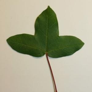 Photographie n°199630 du taxon Acer monspessulanum L. [1753]