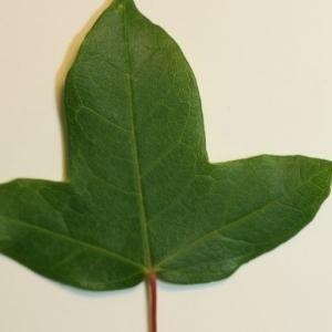 Photographie n°199632 du taxon Acer monspessulanum L. [1753]