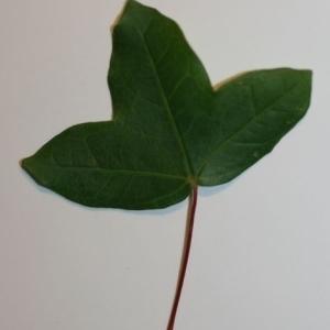 Photographie n°199633 du taxon Acer monspessulanum L. [1753]
