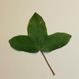 Photographie n°199637 du taxon Acer monspessulanum L. [1753]