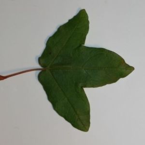 Photographie n°199638 du taxon Acer monspessulanum L. [1753]