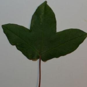 Photographie n°199639 du taxon Acer monspessulanum L. [1753]