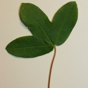 Photographie n°199642 du taxon Acer monspessulanum L. [1753]