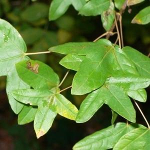 Photographie n°199645 du taxon Acer monspessulanum L. [1753]