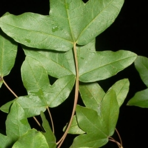 Photographie n°199646 du taxon Acer monspessulanum L. [1753]