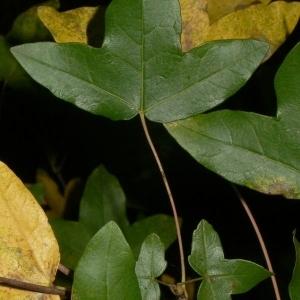 Photographie n°199647 du taxon Acer monspessulanum L. [1753]