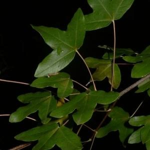 Photographie n°199649 du taxon Acer monspessulanum L. [1753]