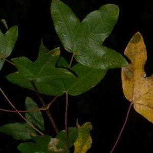 Photographie n°199650 du taxon Acer monspessulanum L. [1753]