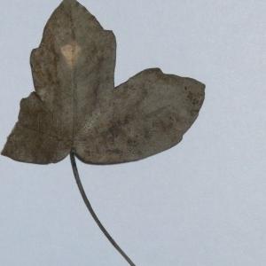 Photographie n°199654 du taxon Acer monspessulanum L. [1753]