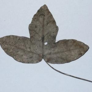 Photographie n°199655 du taxon Acer monspessulanum L. [1753]