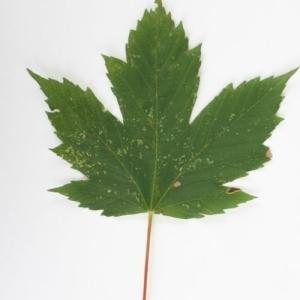 Photographie n°199726 du taxon Acer pseudoplatanus L.